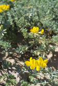 Sand vegetation in blossom — Stock Photo