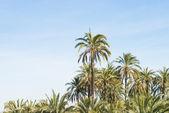 Palm tree plantation — Stock Photo