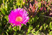 Ice plant flower — Stock Photo