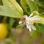 Lemon tree flowering — Stock Photo