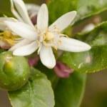 Flowering lemon tree — Stock Photo