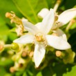Orange tree flower — Stock Photo