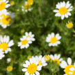 Daisies — Stock Photo #25279777