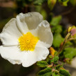 Rockrose — Stock Photo