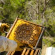 Stock Photo: Apiarist at work