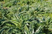 Plantação de alcachofra — Foto Stock