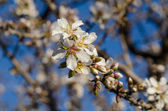 Almond tree branches — Stock Photo