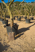 Spade in a tree nursery — Stock Photo