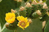 Prickling pear cactus — Stock Photo