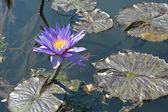 Lily podkładki z kwiatami — Zdjęcie stockowe