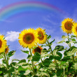 Sunflowers field with rainbow - Stock Photo