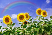 Sunflowers field with rainbow — Stockfoto