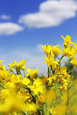Rapeseed flowers and blue sky with clouds — Stock Photo