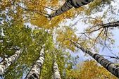 Yellow trees and clear blue sky. View from below — Stock Photo