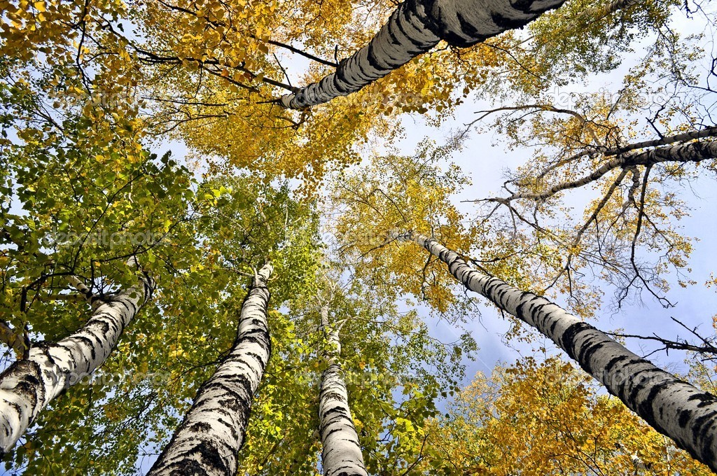 Yellow trees and clear blue sky. View from below — Stock Photo #13633578