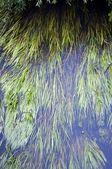 Hierba flotando en la superficie del río — Foto de Stock