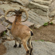 Mountain sheep — Stock Photo