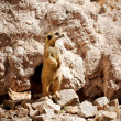 Suricate or meerkat - Stock Photo