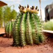 Stock Photo: Barrel Cactus