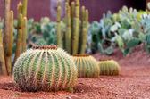 Cactustuin — Stockfoto