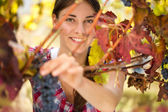 Picking grapes — Stock Photo