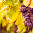 Bunch of red wine grapes — Stock Photo #35602313