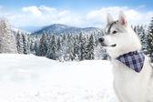Husky on white snow background — Stock Photo