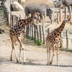 ������, ������: Pair of giraffe