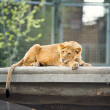 Sleeping lioness — Stock Photo #45808413