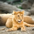 Young lioness relaxing — Stock Photo #45808949