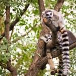 Lemur on tree — Stock Photo #45809251