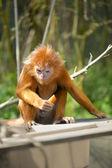 Langur maymun — Stok fotoğraf