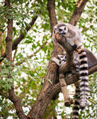 Lemur on tree — Stock Photo