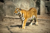 Beautiful  amur tiger — Stock Photo
