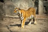 Beautiful  amur tiger — Stock Photo