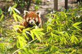 Young lesser panda — Stock Photo