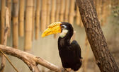 Tropical Hornbill bird — Stock Photo