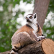 Lemur looks out with big — Stock Photo