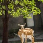 Постер, плакат: Pair of beautiful impala