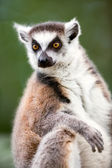 Ring-tailed lemur (lemur catta) — Stock Photo