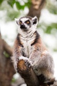 Lemur (lemur catta) — Stock Photo