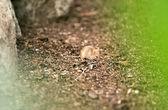 Mouse in habitat  — Stock Photo