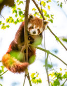 Red Panda  or Lesser Panda. — Stock Photo