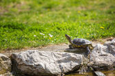 Red-eared slider turtle basking in the sun — Stock Photo