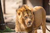 Lion walking in sunny day — Stockfoto