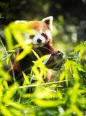Lesser panda eating  — Stockfoto