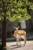 Pair of beautiful impala — 图库照片