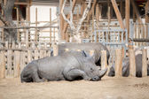 Náměstí rty nosorožce — Stock fotografie