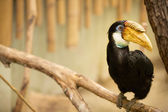 Hornbill with yellow beak — Stock Photo