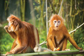 Ebony langurs, orange monkeys — Stock Photo